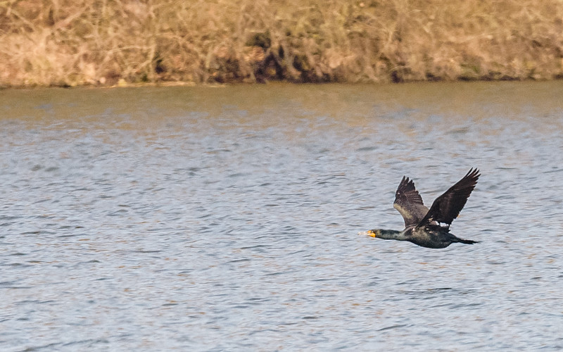 Double-crested Cormorant and Red-breasted Mergansers at Potato Creek State Park