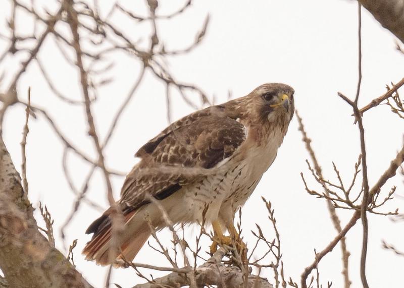 Red-tailed Hawk near La Porte lakes