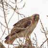 Red-tailed Hawk near La Porte lakes