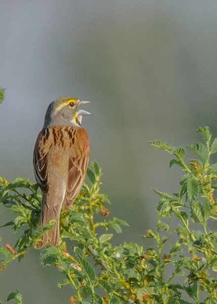 Dickcissel at Beverly D. Crone Restoration Area