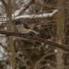 Tufted Titmouse at Fernwood Botanical Garden