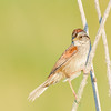 Swamp Sparrow-1 at Beverly D. Crone Restoration Area