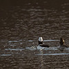 a Bufflehead couple at La Porte lakes
