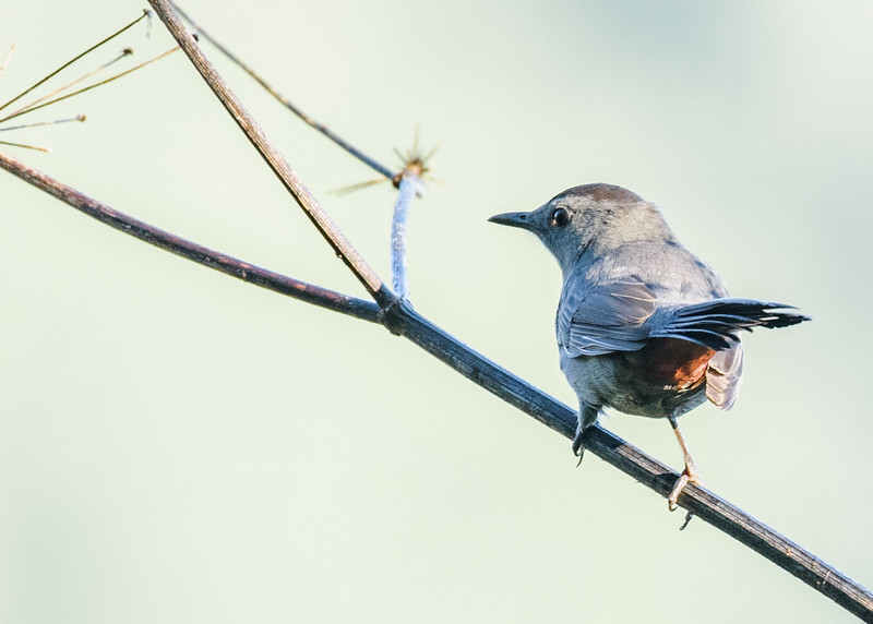 Gray Catbird at Potato Creek State Park