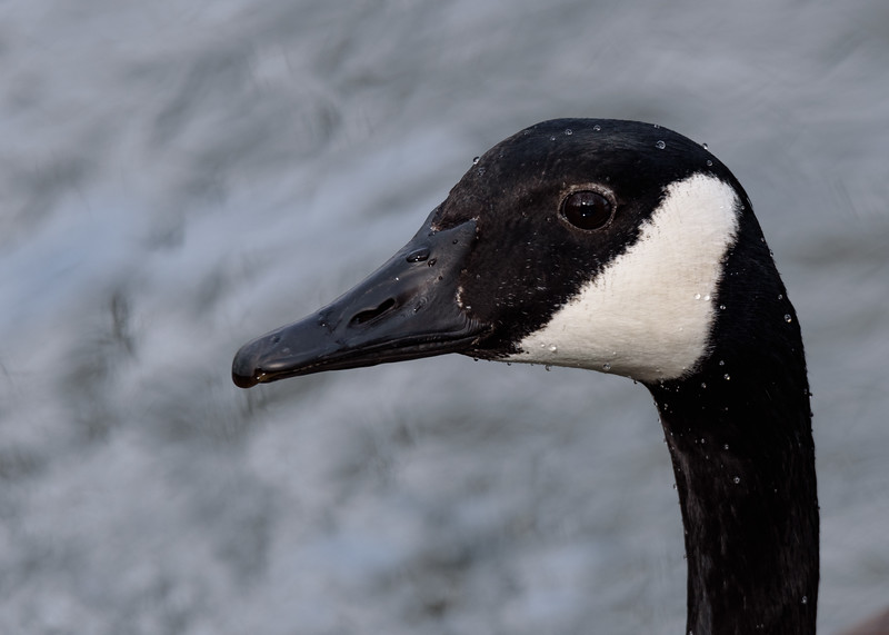 Canada Goose at Notre Dame lakes