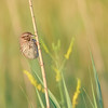 Song Sparrow at Beverly D. Crone Restoration Area