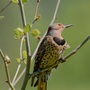Northern Flicker at Fidler Pond, Goshen