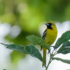 Orchard Oriole at Wellfield Botanic Gardens