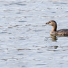 Pied-billed Grebe-a portrait at Notre Dame lakes