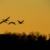 Sandhill Cranes coming for roosting at Jasper-Pulaski Fish and Wildlife Area, , Medaryville, IN