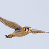 colorful raptor-an American Kestrel in flight