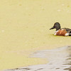 Northern Shoveler at Highland's Heron Rookery