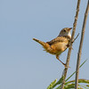 Sedge Wren at Beverly D. Crone Restoration Area