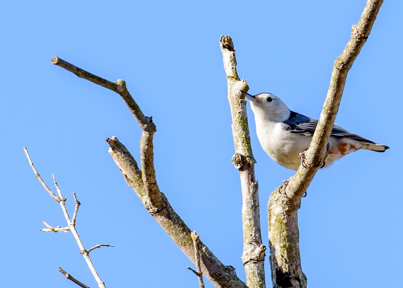 White-Brested Nuthatch at Potato Creek State Park