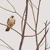 Peregrine Falcon at Highland's Heron Rookery, Highland, IN