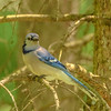 Blue Jay at Goshen Dam Pond