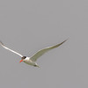 Caspian Tern in flight at Lake Street Beach