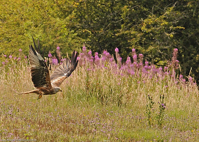 Red Kite swooping for food