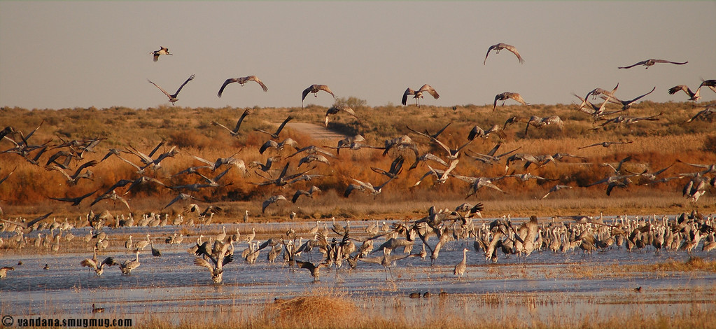 Sandhill migration in action