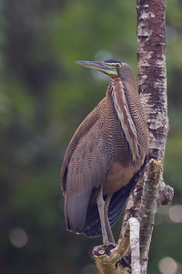 Bare-throated Tiger-Heron - Costa Rica