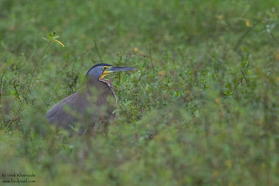 Bare-throated Tiger-Heron - Crooked Tree, Belize