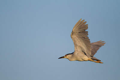 Black-crowned Night-Heron in flight - Mountain View, CA, USA