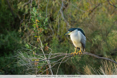 Black-crowned Night-Heron - AZ, USA