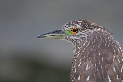 Black-crowned Night-Heron - Juvenile - Sunnyvale, CA, USA