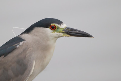 Black-crowned Night-Heron - Sunnyvale, CA, USA