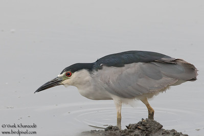 Black-crowned Night-Heron - Palo Alto Baylands Park, Palo Alto, CA