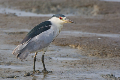Black-crowned Night-Heron - Palo Alto, CA, USA