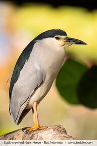 Black-crowned Night-Heron - Bali, Indonesia