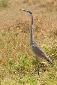Black-headed Heron - Serengeti National Park, Tanzania