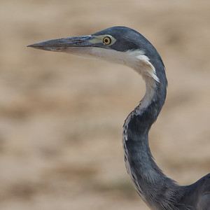 Black-headed Heron - Amboseli National Park, Kenya