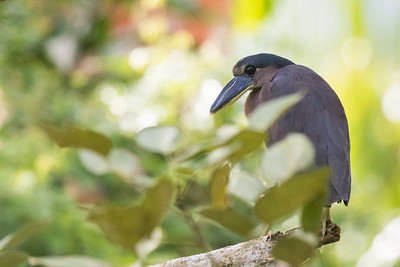 Boat-billed Heron - Pedro Miguel, Colon, Panama