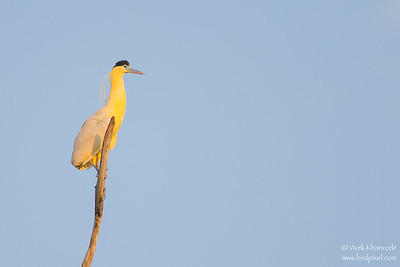 Capped Heron - Oxbow lake near Tambo Blanquillo Lodge, Peru