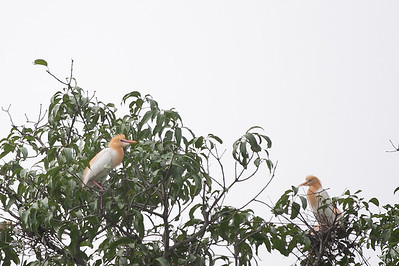 Cattle Egrets in breeding plumage - Pench National Park, Maharashtra, India