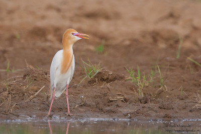 Cattle Egret in breeding plumage - Kutch, Gujrat, India