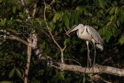 Cocoi Heron - Amazon, Ecuador