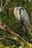 Cocoi Heron - Amazon, Ecuador