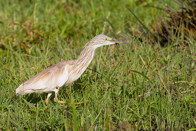 Common Squacco Heron - Amboseli National Park, Kenya