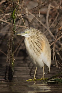 Common Squacco Heron - Aswan, Egypt