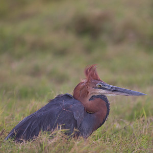 Goliath Heron - Amboseli National Park, Kenya