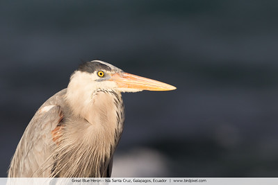 Great Blue Heron - Isla Santa Cruz, Galapagos, Ecuador