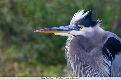 Great Blue Heron - CA, USA