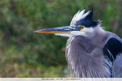 Great Blue Heron - CA, USA
