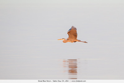 Great Blue Heron - Salton Sea, CA, USA