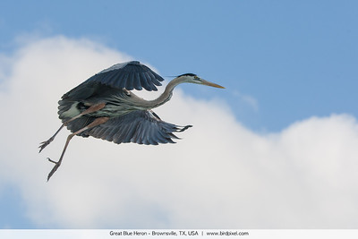 Great Blue Heron - Brownsville, TX, USA