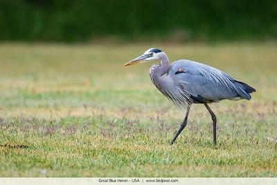 Great Blue Heron - USA