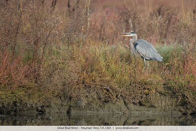 Great Blue Heron - Mountain View, CA, USA
